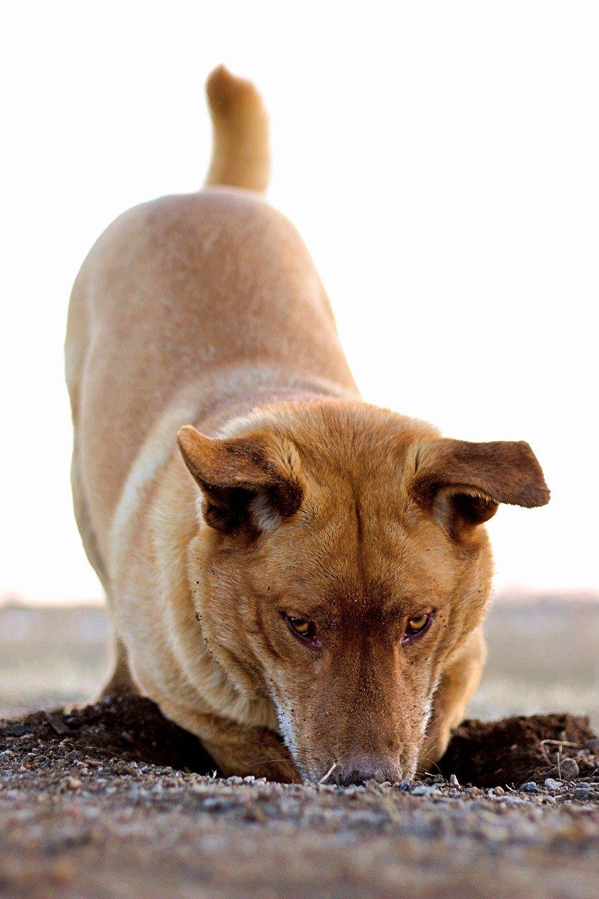 dog, digging, hole-4404030.jpg